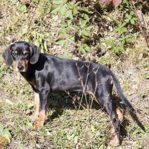 Transylvanian Hound Dog Breed