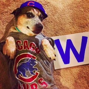 Dog celebrates the Cubs World Series win
