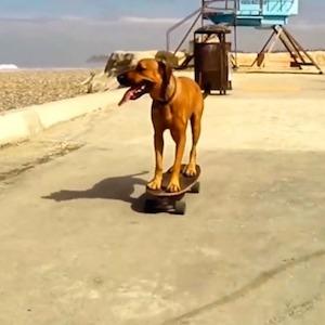 Bamboo the skateboarding dog