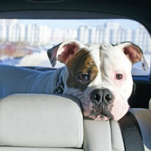 Dog left in car by bad pet parent