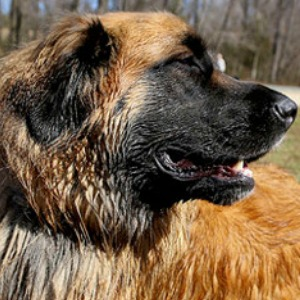 Estrela Mountain Dog Breed