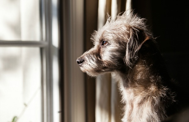 Sad dog looking out the window