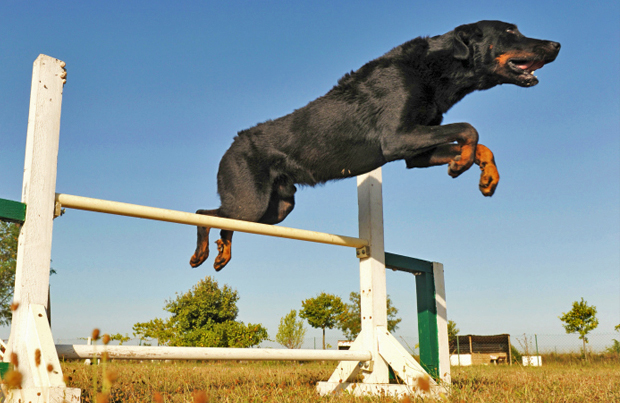 Beauceron jumping over a hurdle during a sporting event.