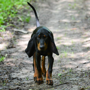 Black and Tan Coonhound walking along a hiking trail.