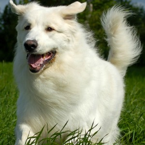Long haired dog breeds.