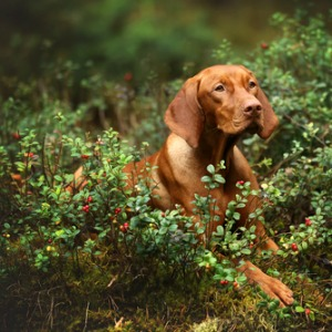 Can dogs eat cranberries?
