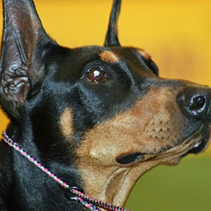 Toy Manchester Terrier Dog Breed