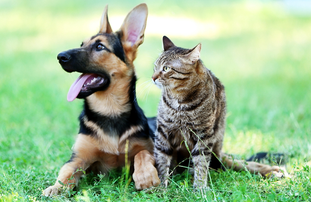 Dog-like cat breeds
