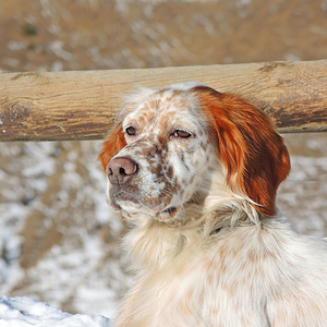 Irish Red and White Setter Breed