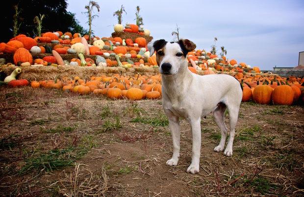 Dog in a pumpkin patch