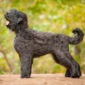 Black Russian Terrier walking in a park in autumn.