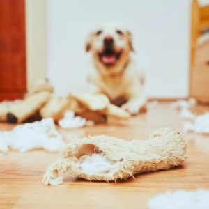 Labrador Retriever ripping apart dog toy
