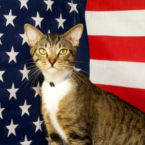 American Domestic Cat Breed