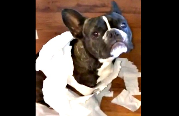 Guilty French Bulldog wrapped in toilet paper