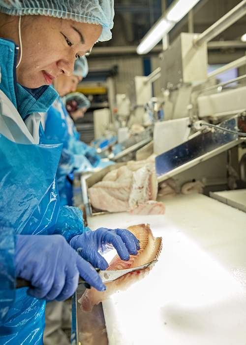 Processing the landed cod at Norway Seafoods, Lofoten