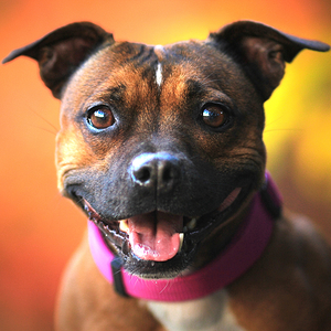 Staffordshire Bull Terrier Dog Breed