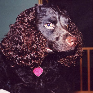 American Water Spaniel with beautiful coat and dog collar