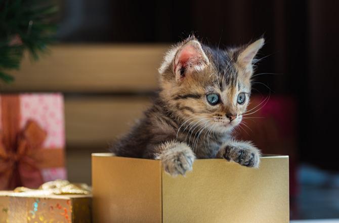 Kitten in gift box