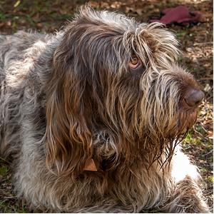 Spinone Italianos Dog Breed