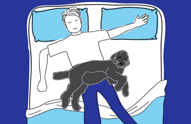 Dog in bed - the lap dog