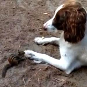 Springer Spaniel and chipmunk