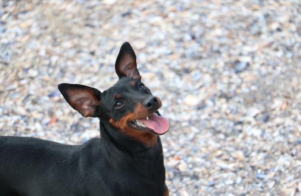 Miniature Pinscher dog breed.