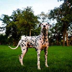 Spotted Dalmatian dog in the park.
