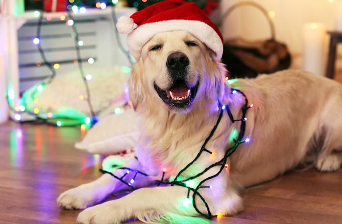Dog at holiday party