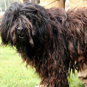 Bergamasco with beautiful curls showing off during a dog show.