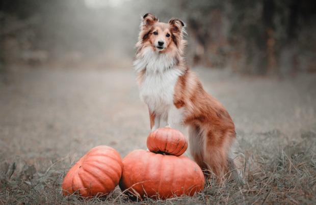 Dog posing with pumpkins