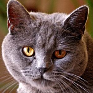 Chartreuxs Cat Breed