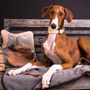 Azawakh dog relaxing on a bench