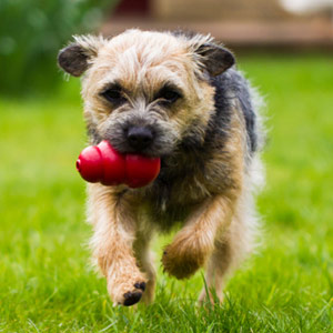 Border Terrier playing fetch outdoors with a toy.