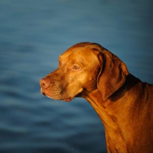 Vizsla Dog Breed