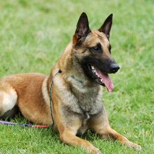Belgian Malinois resting on a grassy field while on a lead.