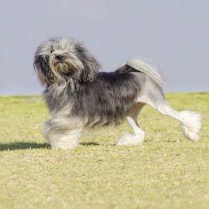 A Lowchen dog.