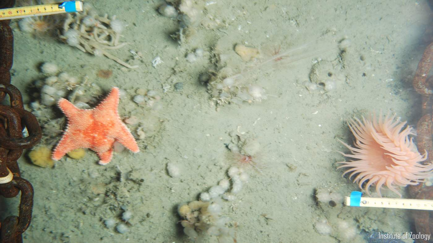 The seafloor cameras capture hundreds of seafloor images revealing species like starfish and pink sea anemones (pictured) © ZSL