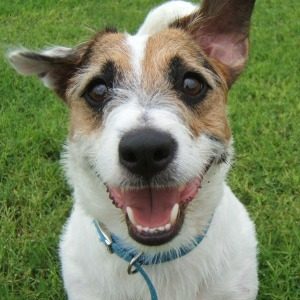 Jesse the Jack Russell smiling