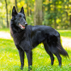 Belgian Shepherd looking back attentively while playing in a grassy field.