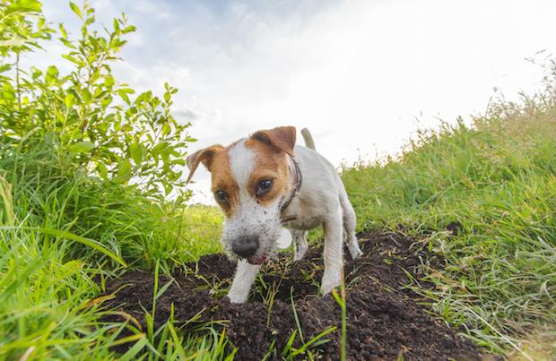 Dog buries bone outside.
