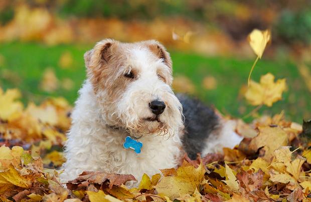 Wire Fox Terrier Dog Breed