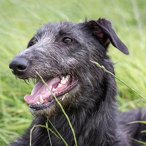 Scottish Deerhound Dog Breed
