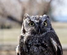 A close-up of a screech owl.