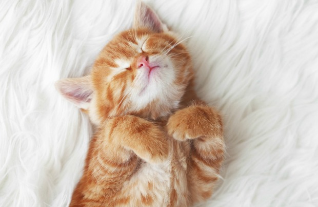 Small kitten sleeping and dreaming
