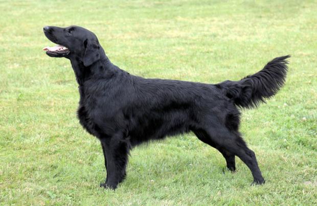 Flat-Coated Retriever Dog Breed