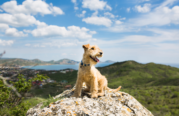 Lakeland terrier dog.