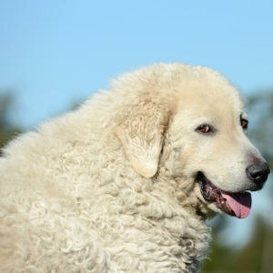 Kuvaszok dog breed