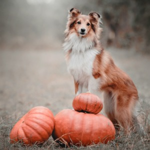 Dog posing with pumpkins