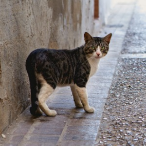 Feral cat on a street