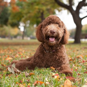 Labradoodle dog breed.